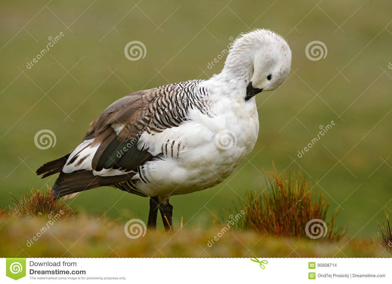 Белая птица с длинной шеей Белая гусыня в траве Белая птица в зеленой траве Гусына в траве Одичалая белая гусыня нагорья, c