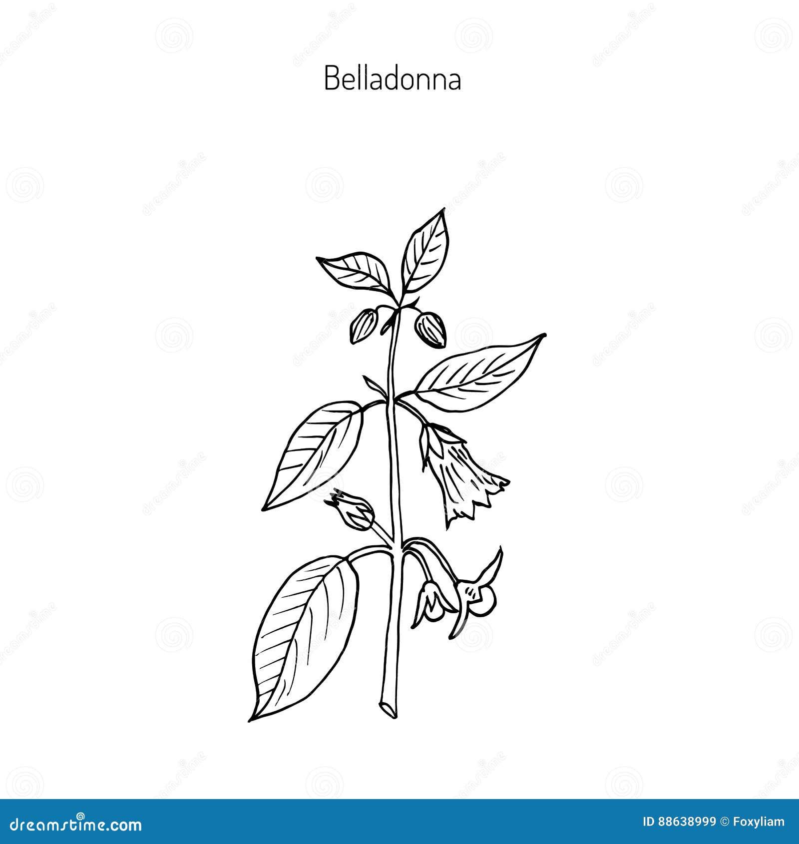 белладонна раскраска растение цветная