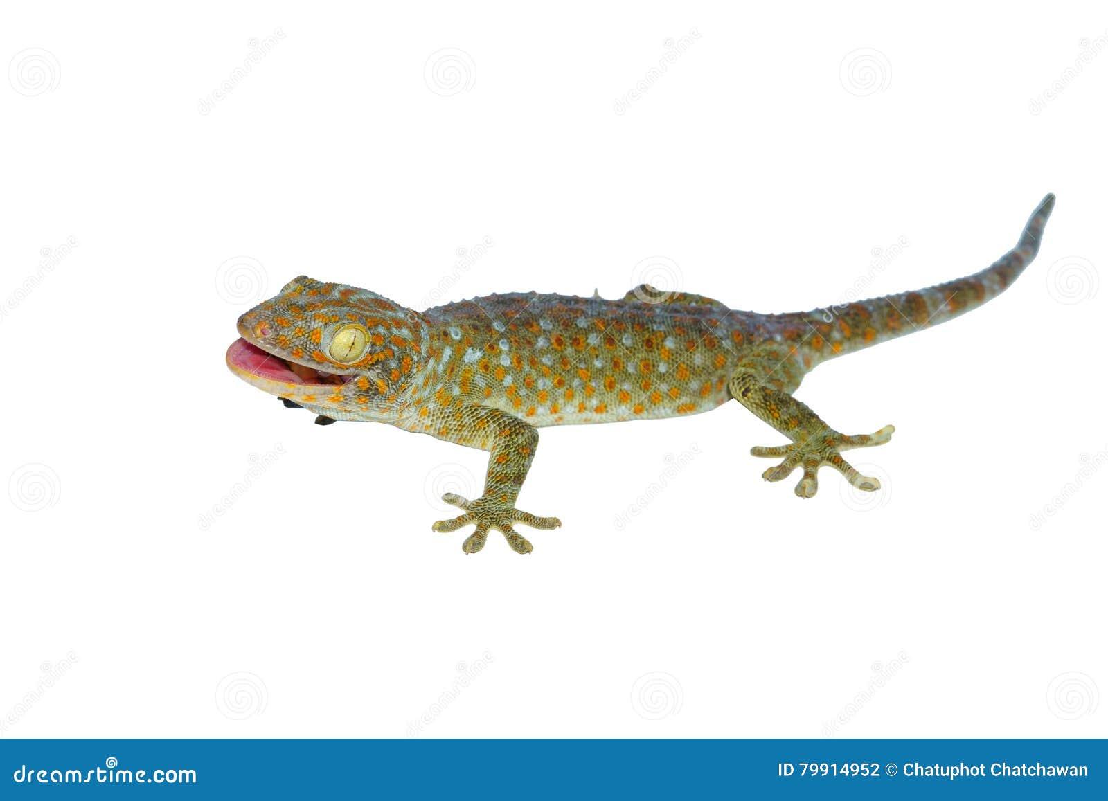 белизна изолированная gecko