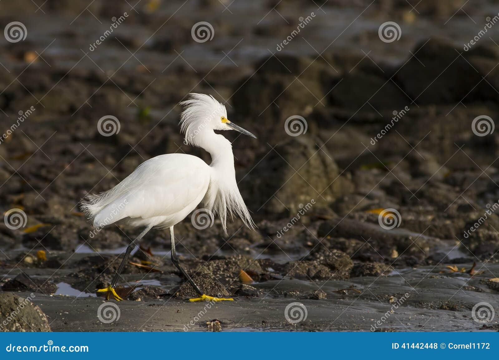 белизна egret снежная