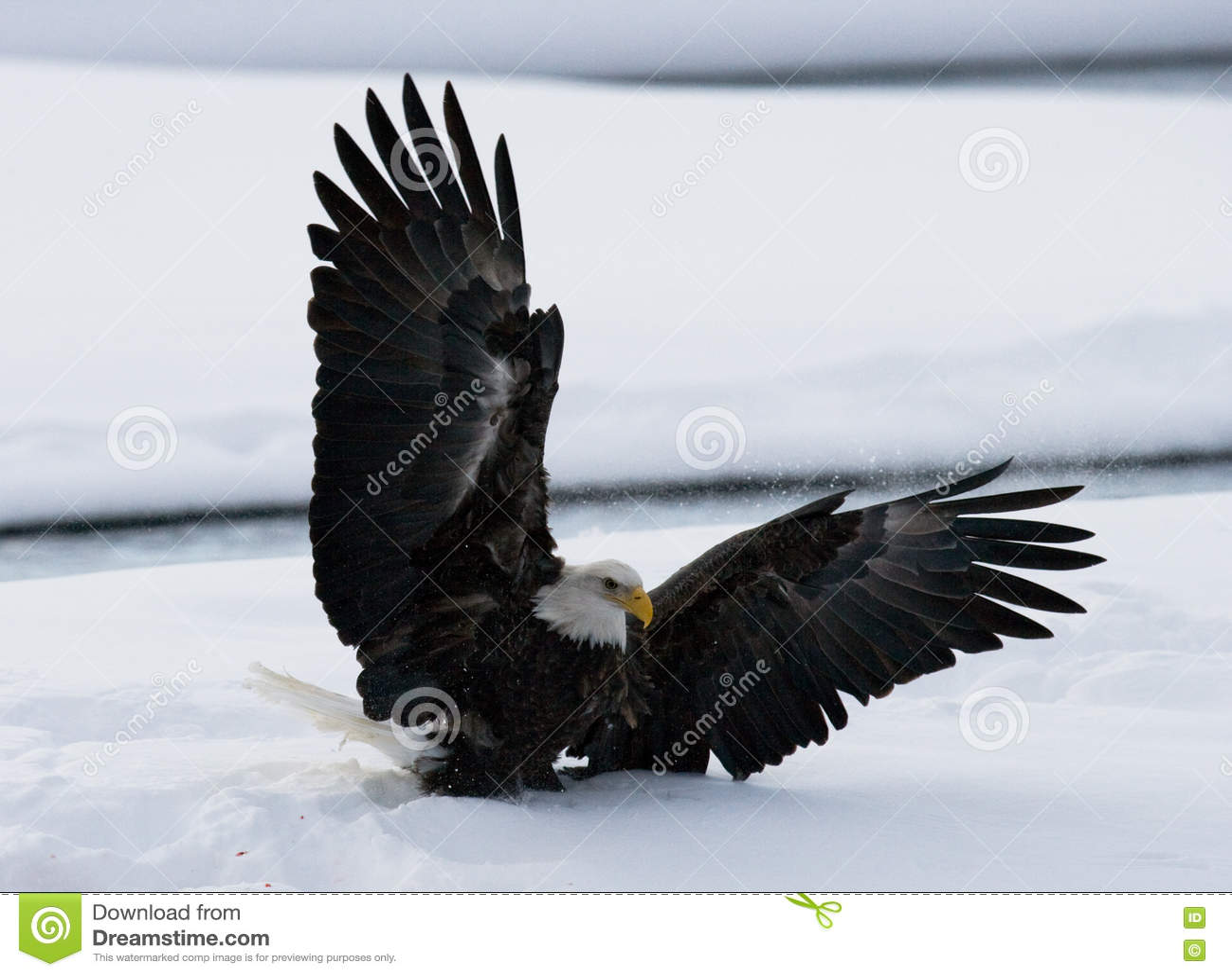 Белоголовый орлан летает вверх от земли снежок Зима США albacore Река Chilkat