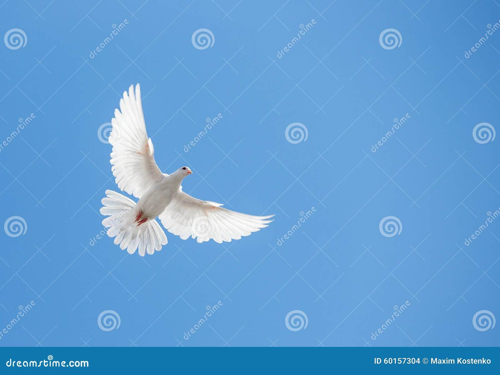 Белое летание голубя