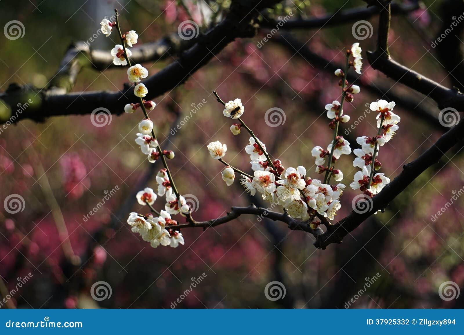 Белое цветение сливы