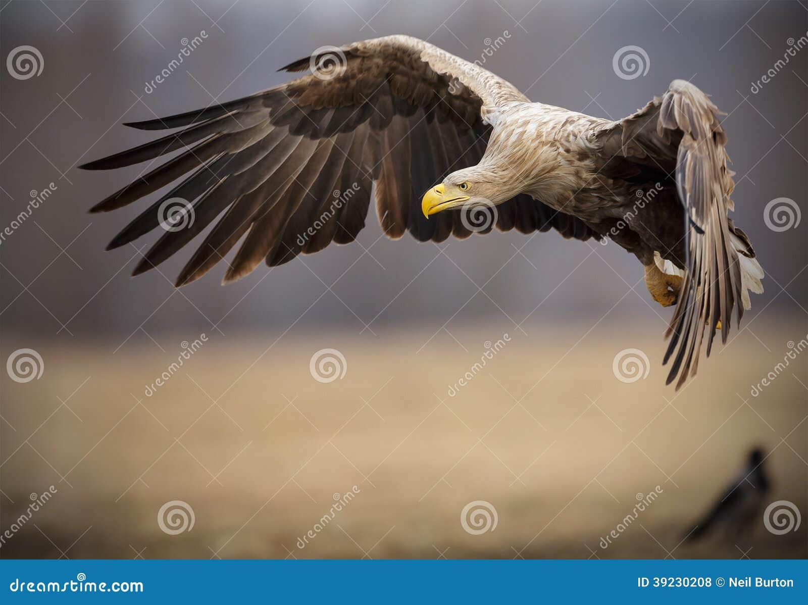 Бело-замкнутый взрослым орел моря в полете
