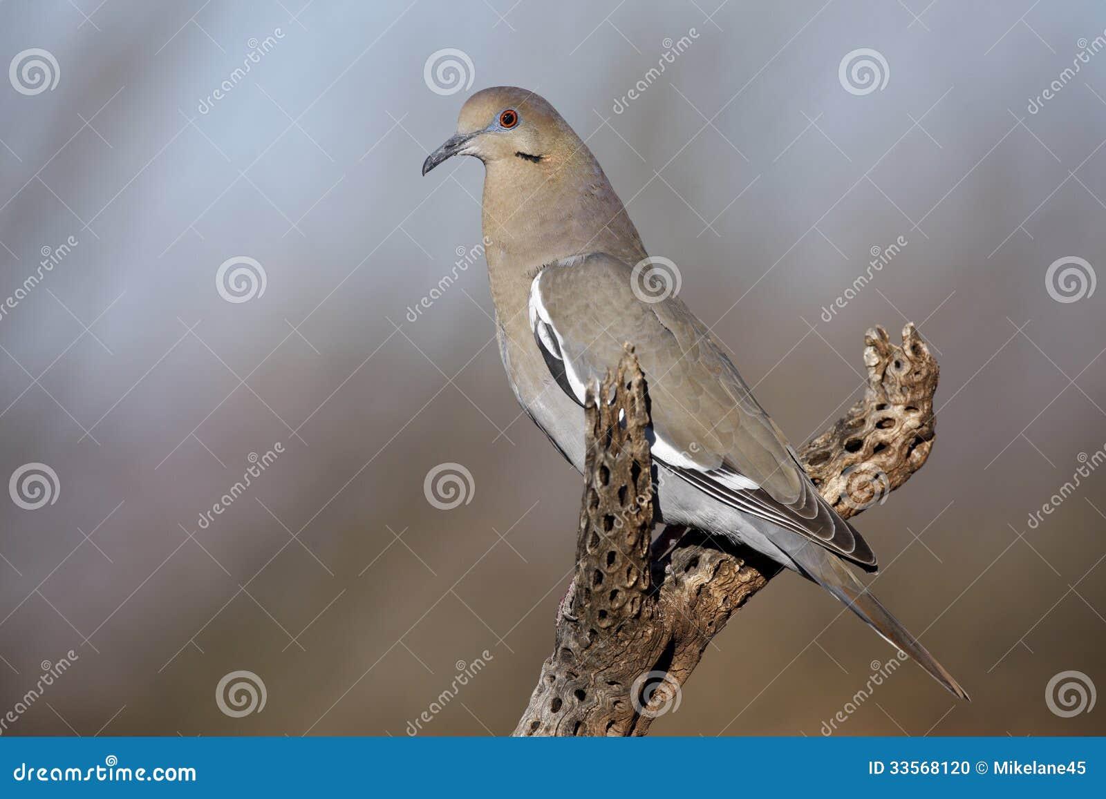 Бело-подогнали голубь, Zenaida asiatica