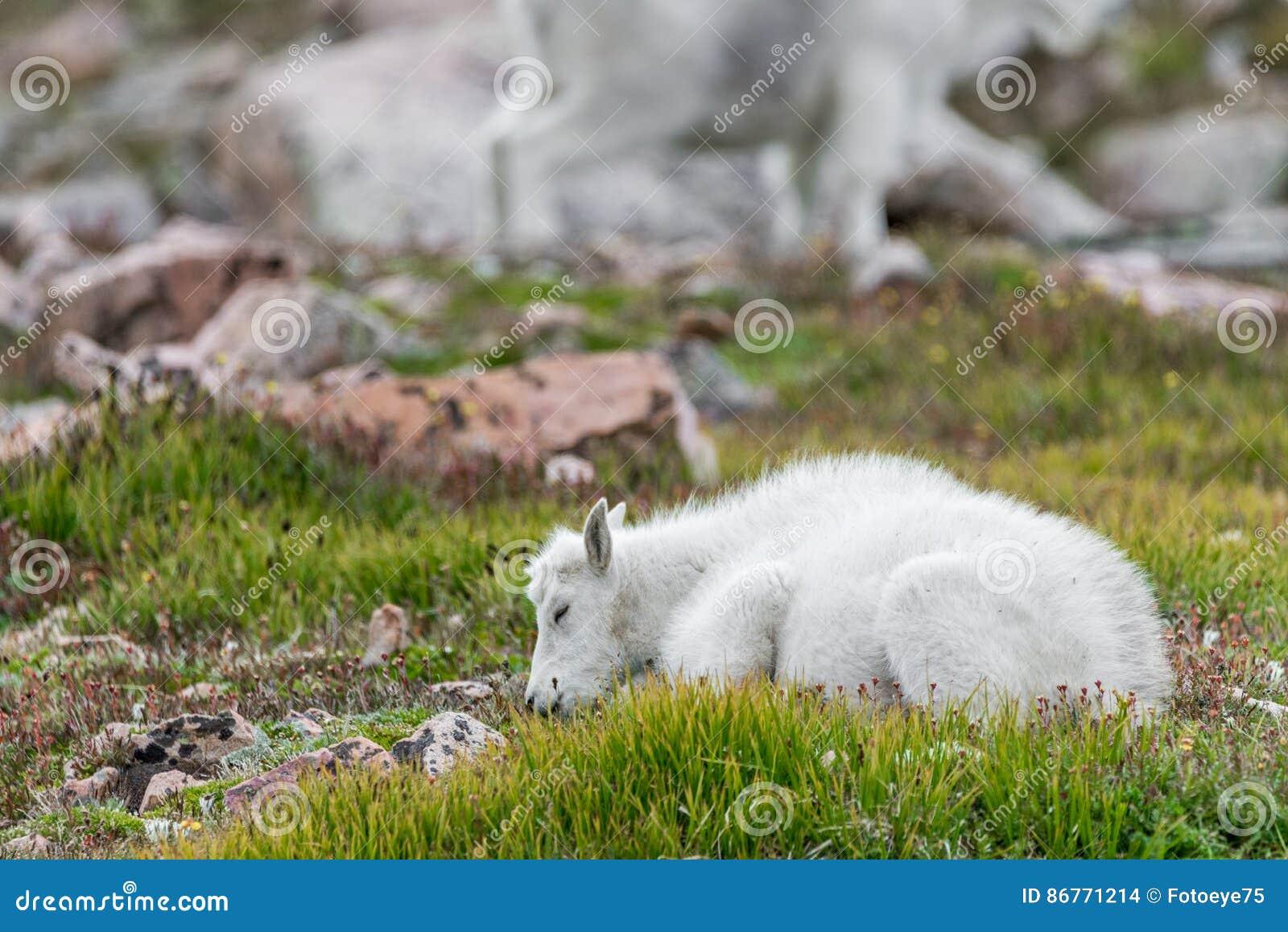 Белые большие овцы рожка - коза скалистой горы