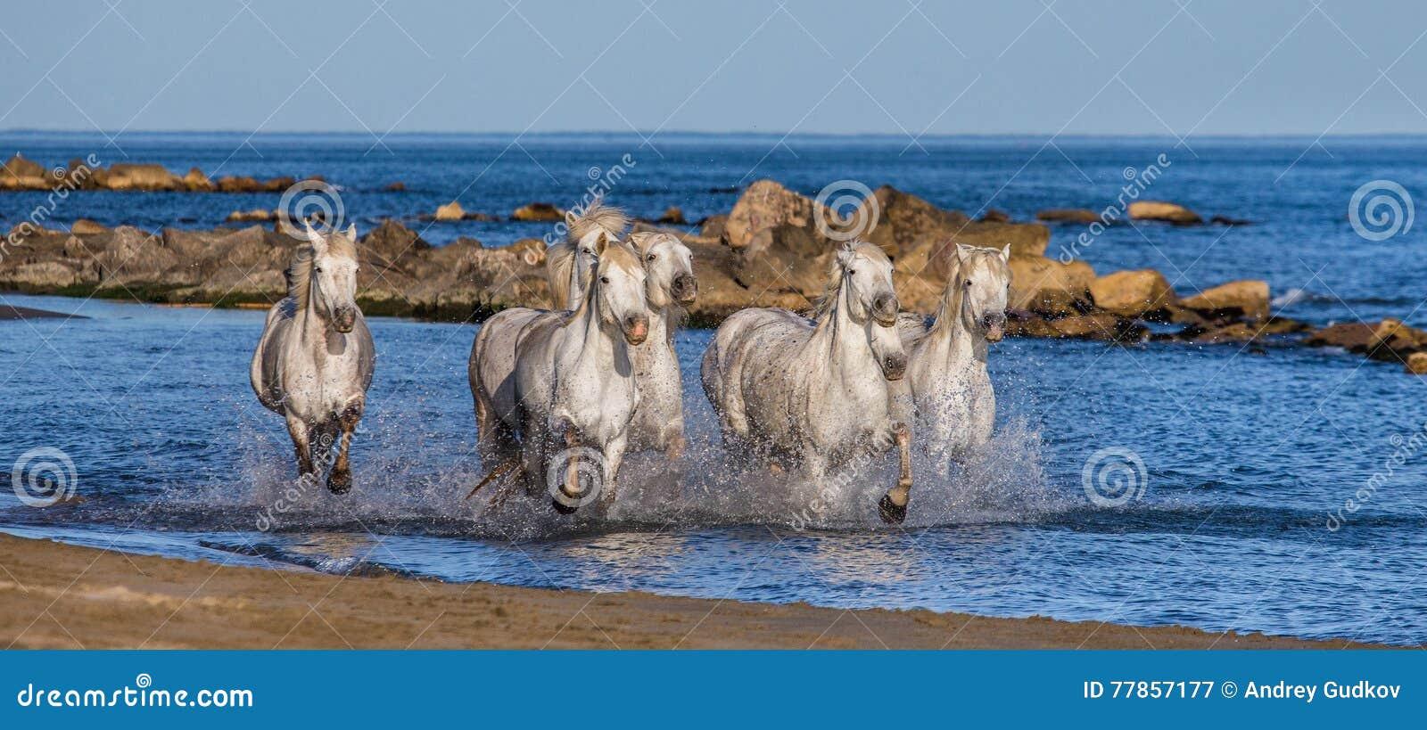 Белые лошади Camargue скакать вдоль моря приставают к берегу camargue de parc регионарное Франция Провансаль