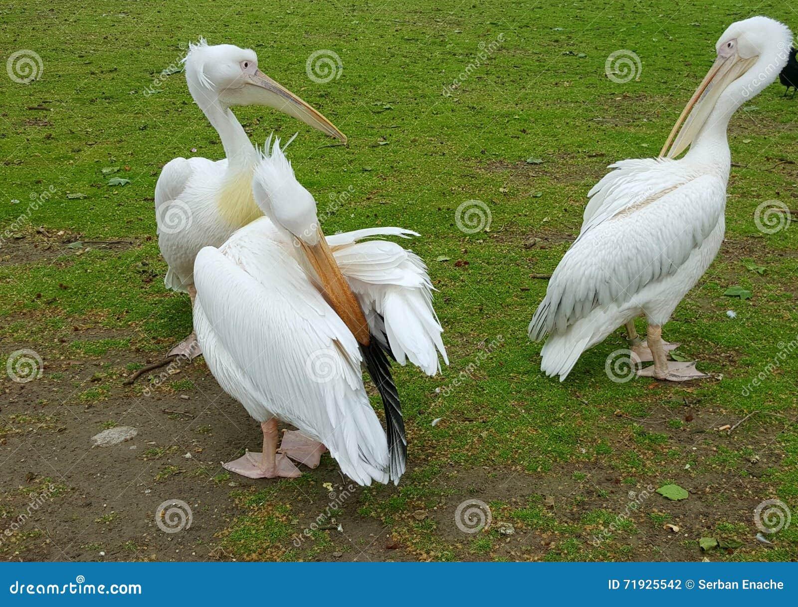 Белые пеликаны в St James паркуют, Лондон, Англия