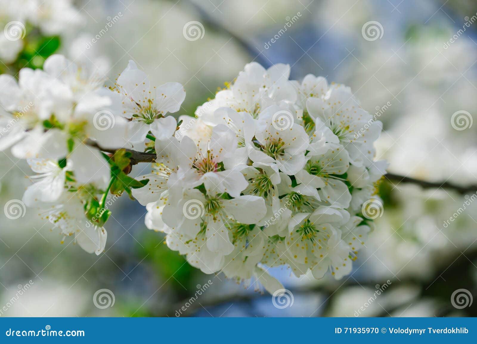 Белые цветки в цветениях