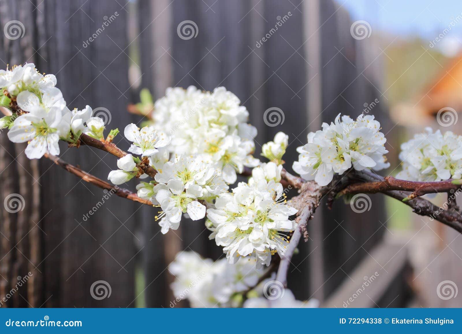 Download Белые цветки сливы стоковое фото. изображение насчитывающей слива - 72294338