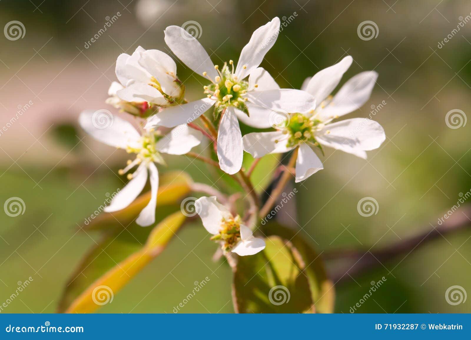 Белые цветки mespilus осветили с солнцем