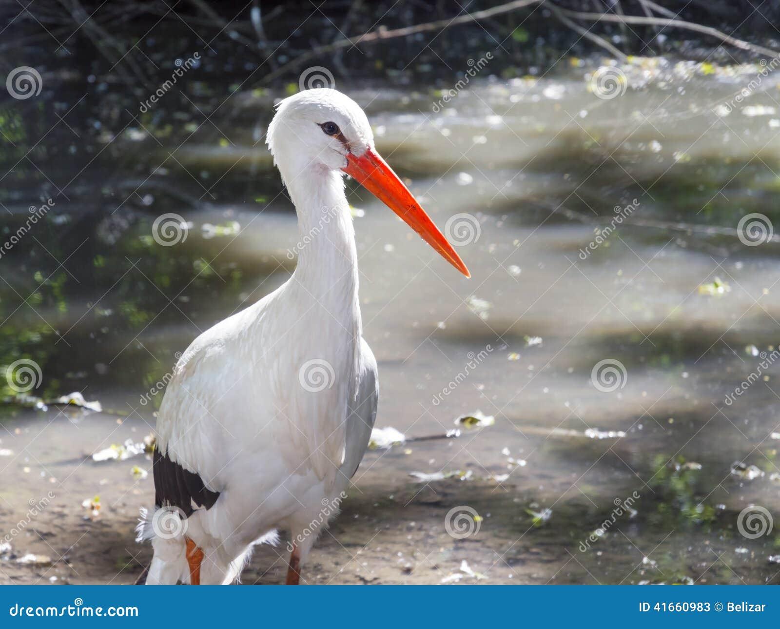Белый аист (аист аиста)