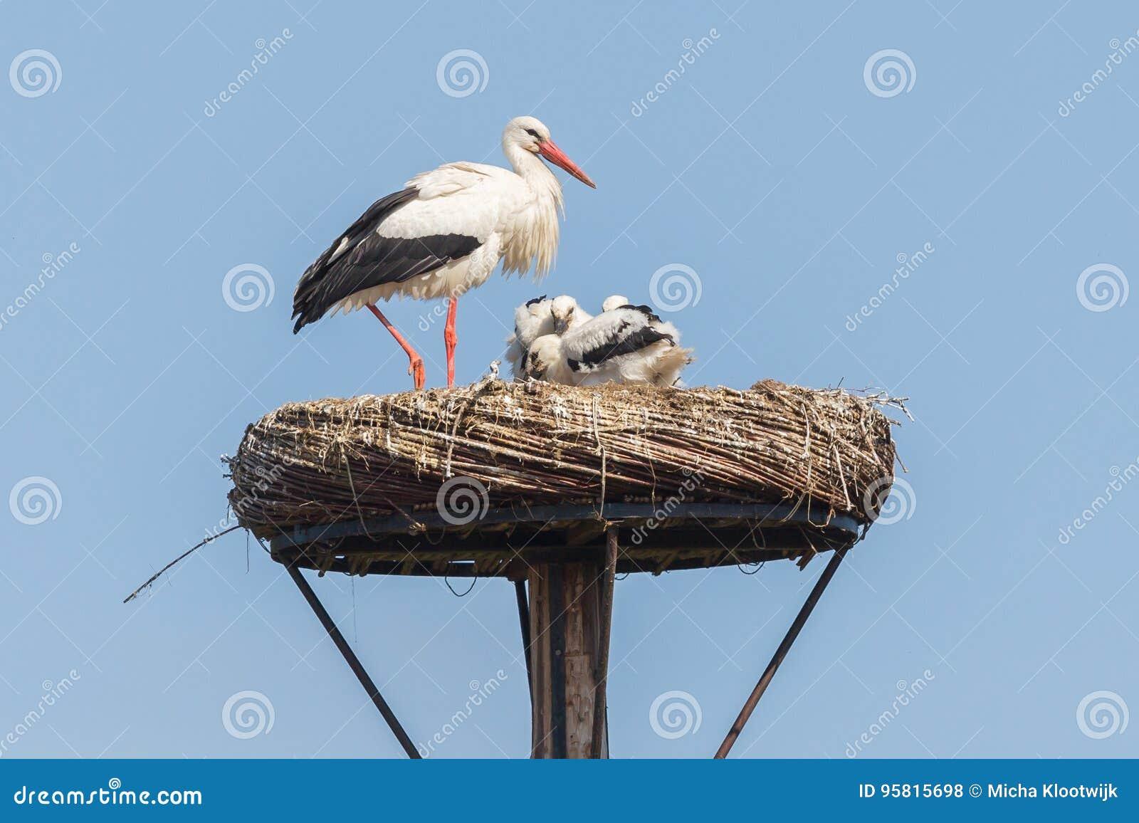 Белый аист сидя на гнезде