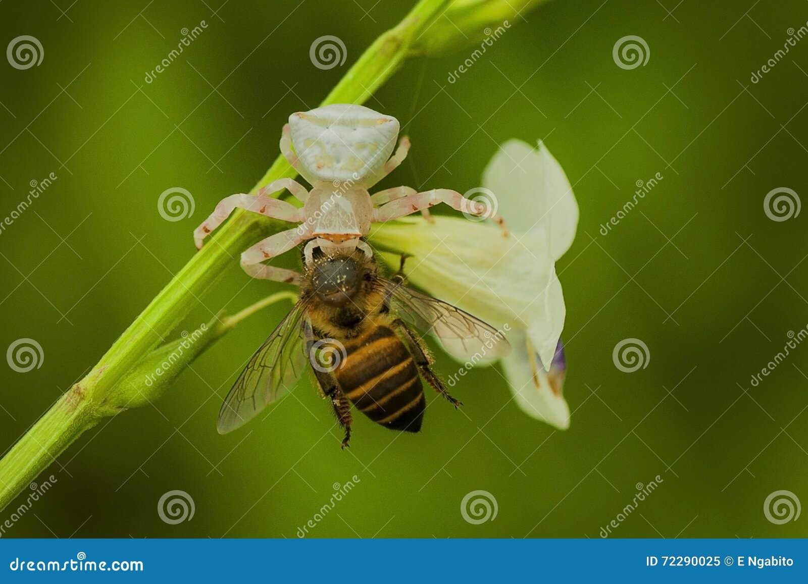 Download Белый паук есть пчелу стоковое изображение. изображение насчитывающей насекомое - 72290025
