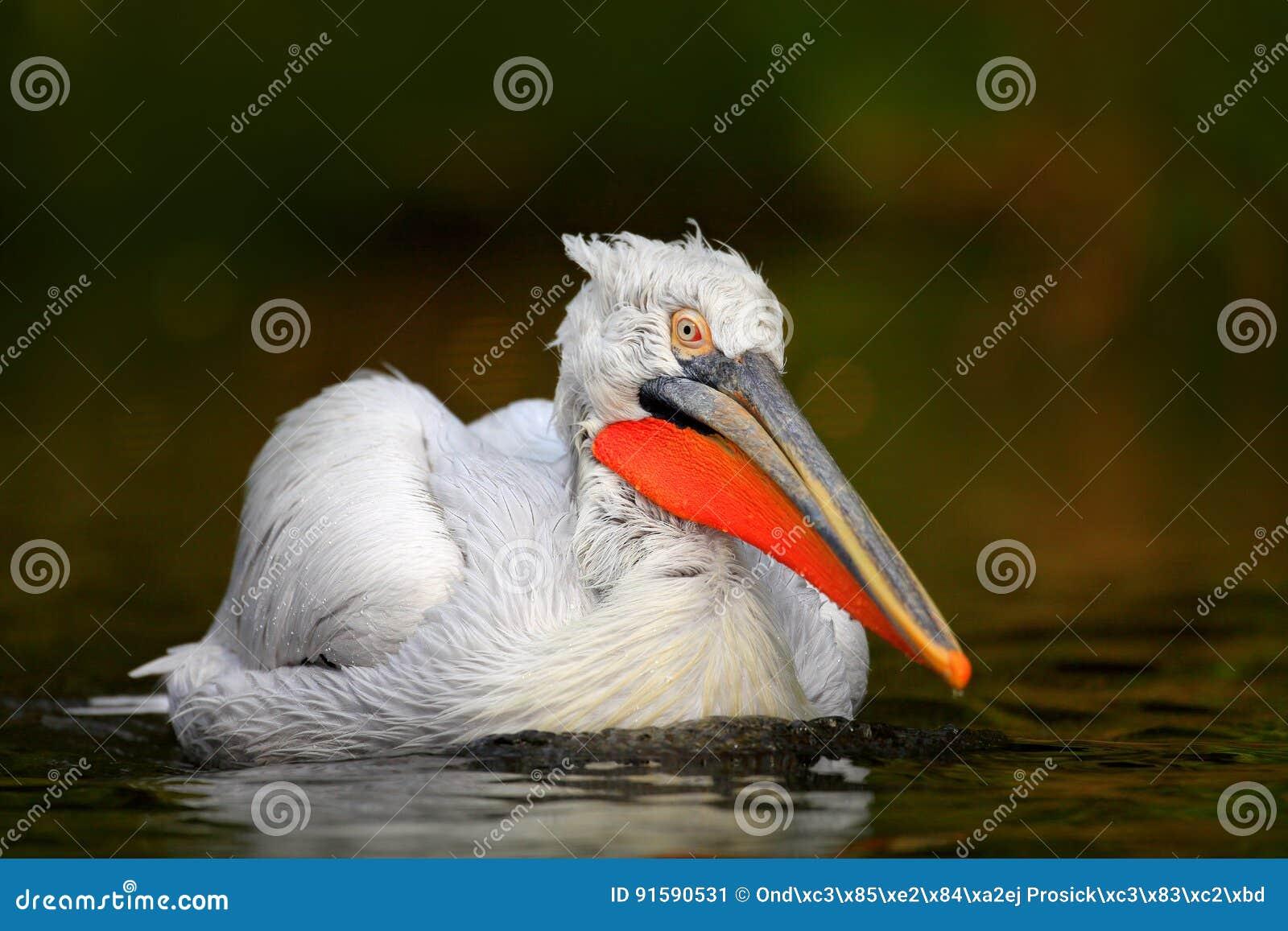Белый пеликан, erythrorhynchos Pelecanus, птица в темной воде, среда обитания природы, Румыния Сцена живой природы от природы Евр