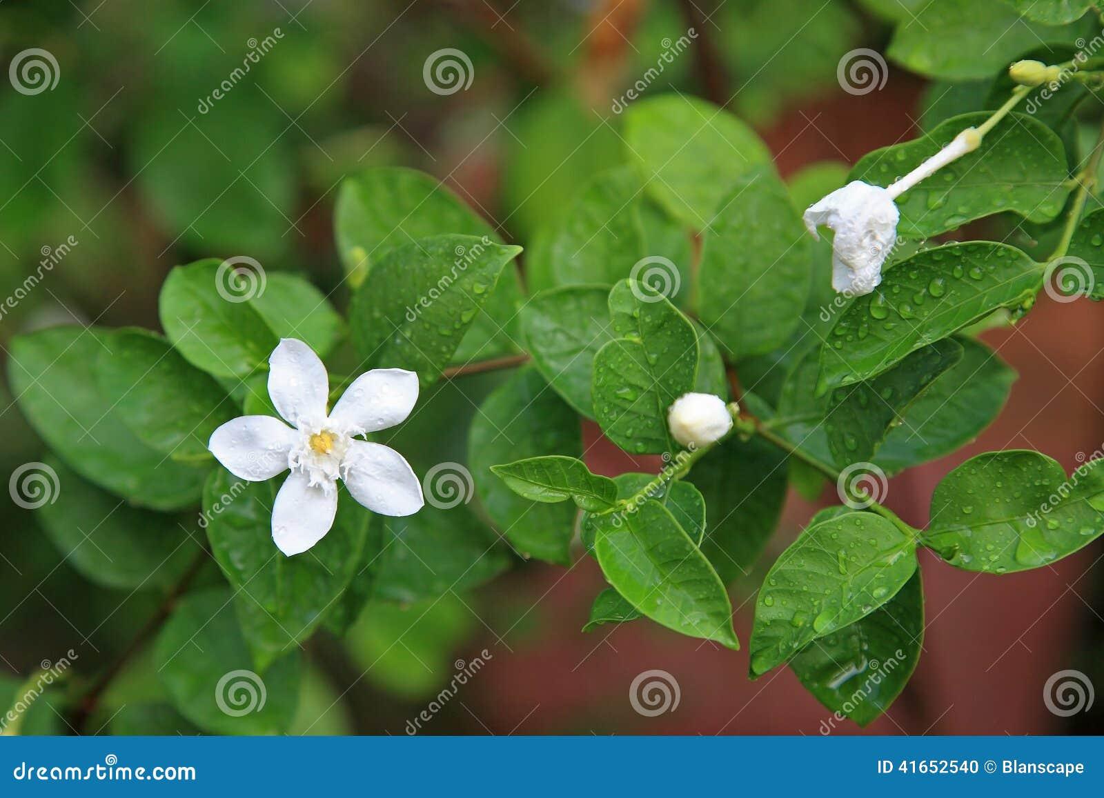 Белый цветок жасмина с дождевыми каплями
