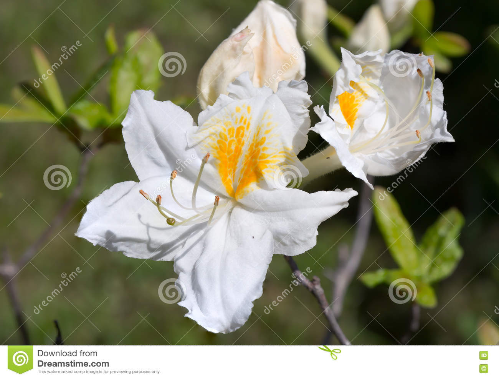 Download Белый цветок рододендрона стоковое изображение. изображение насчитывающей yellow - 72294023