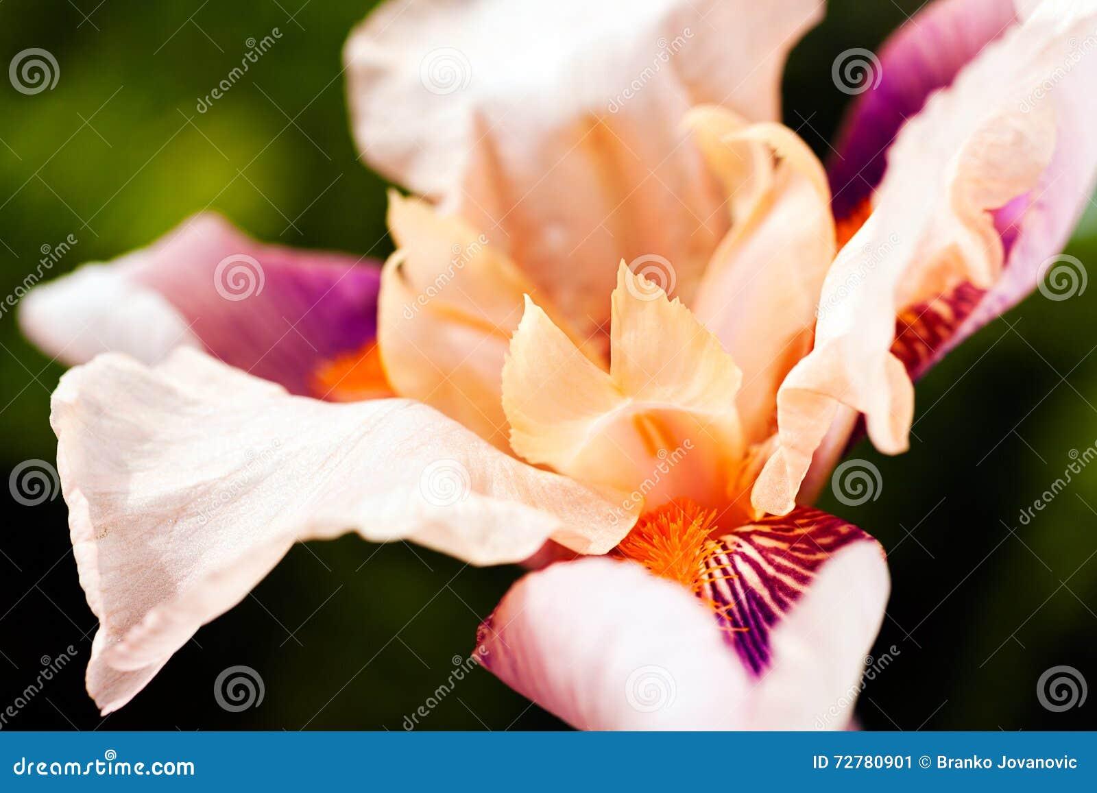 Белый blossoming радужки