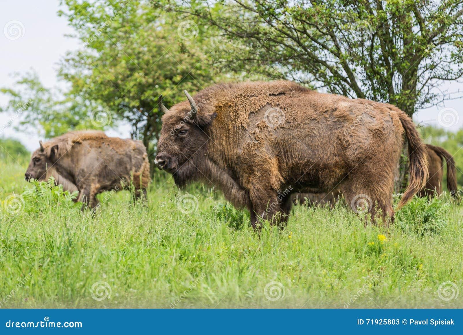 Бизон европейца зубра