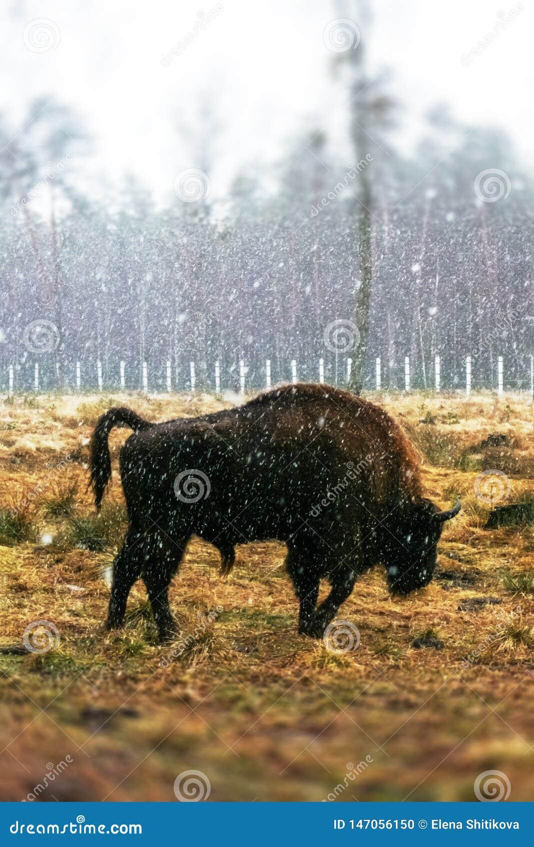 Бизон на поле