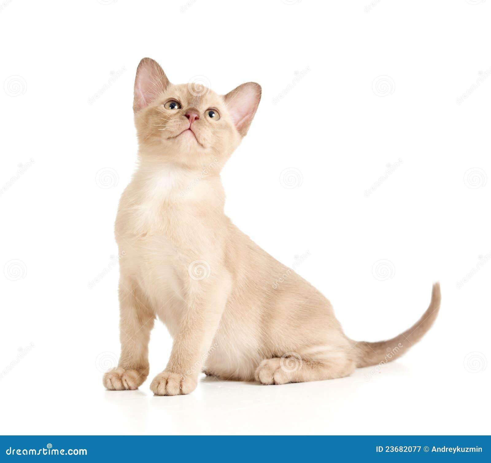 бирманский кот смотря сидя верхнюю белизну