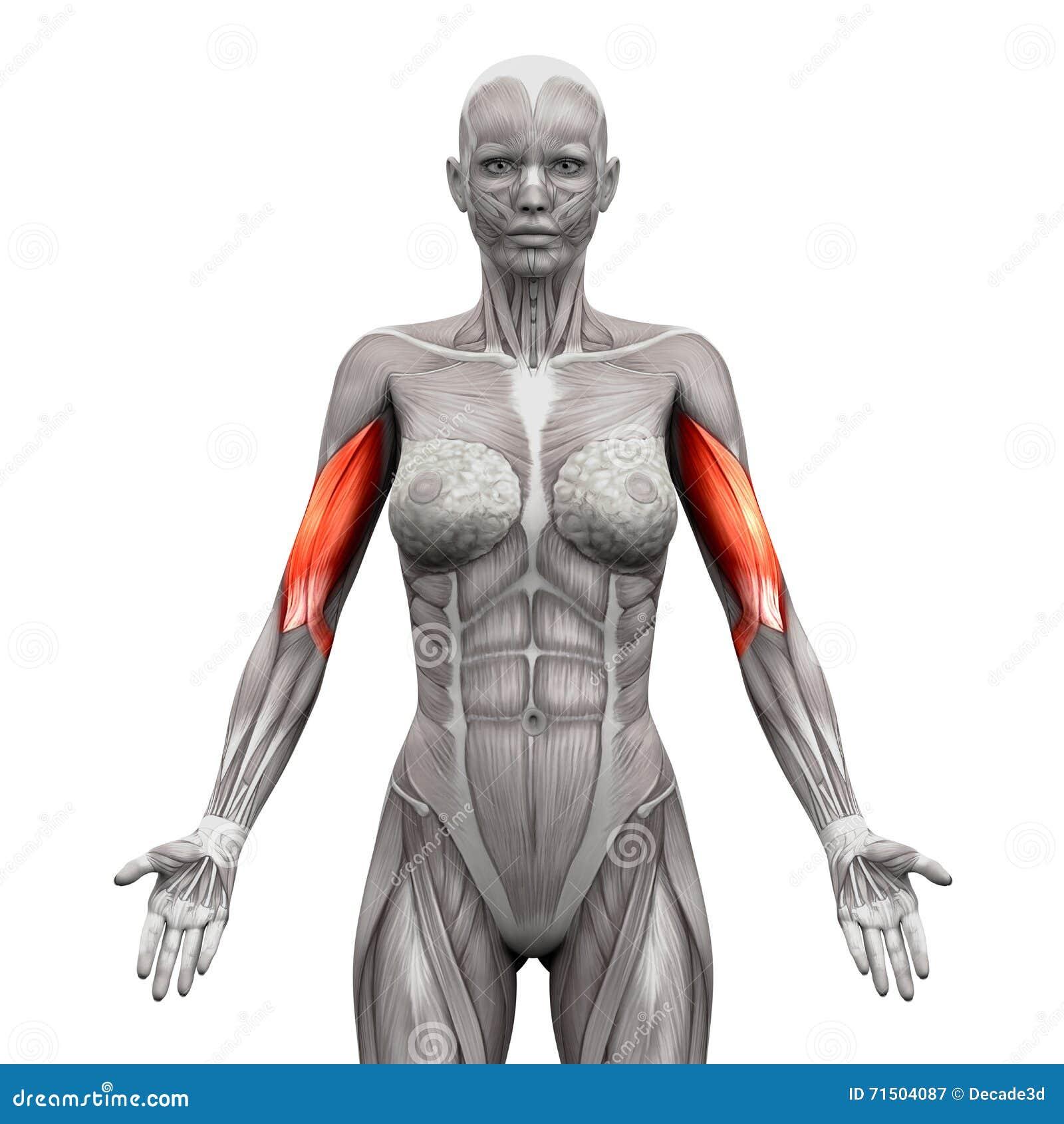 Бицепс Muscles - мышцы анатомии изолированные на бело- illustra 3D