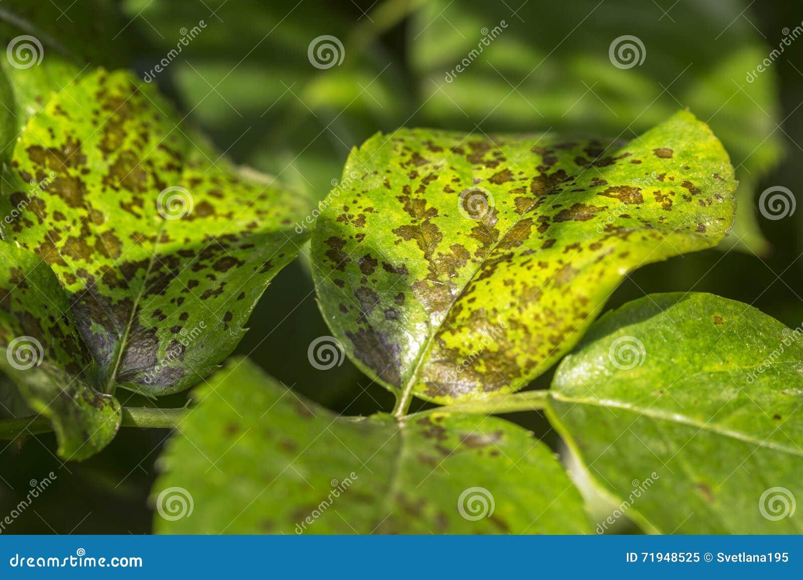 Бичи, болезни растения Лист пятнают конец-вверх Большинство лист s