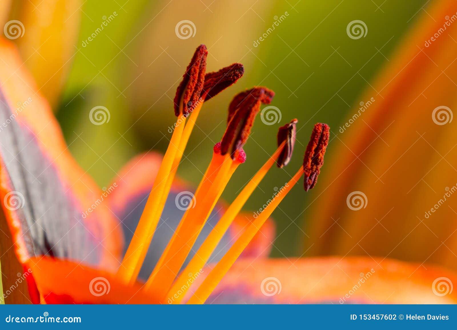Близкая поднимающая вверх деталь оранжевой и черной лилии