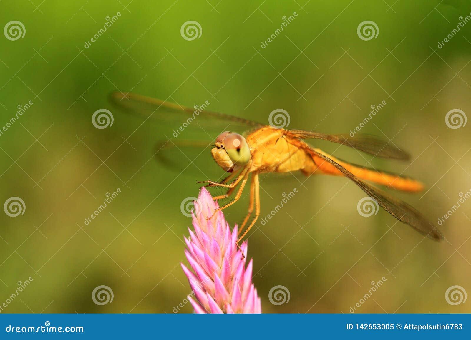 Близкая поднимающая вверх съемка посадки dragonfly на верхнем цветке