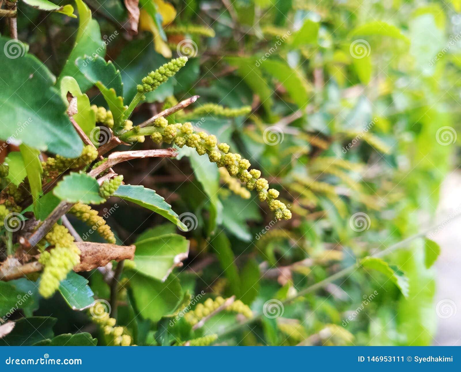 Близкие поднимающие вверх лист зеленого цвета изображения и зацветая цветки дерева чая