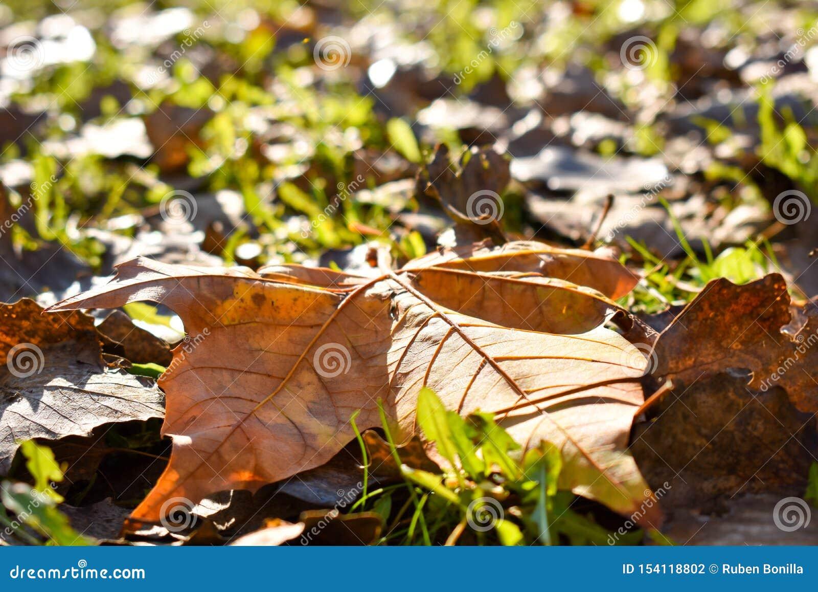близкий вверх лист сухого клена оранжевых на зеленой траве в сцене дня падения Лист падали на другие сухие листья и