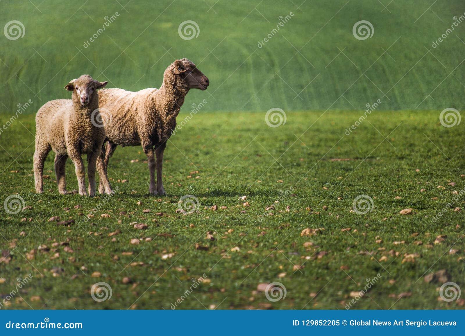 Близкий вверх овец в зеленом поле в Caledon, западной накидке, Южной Африке