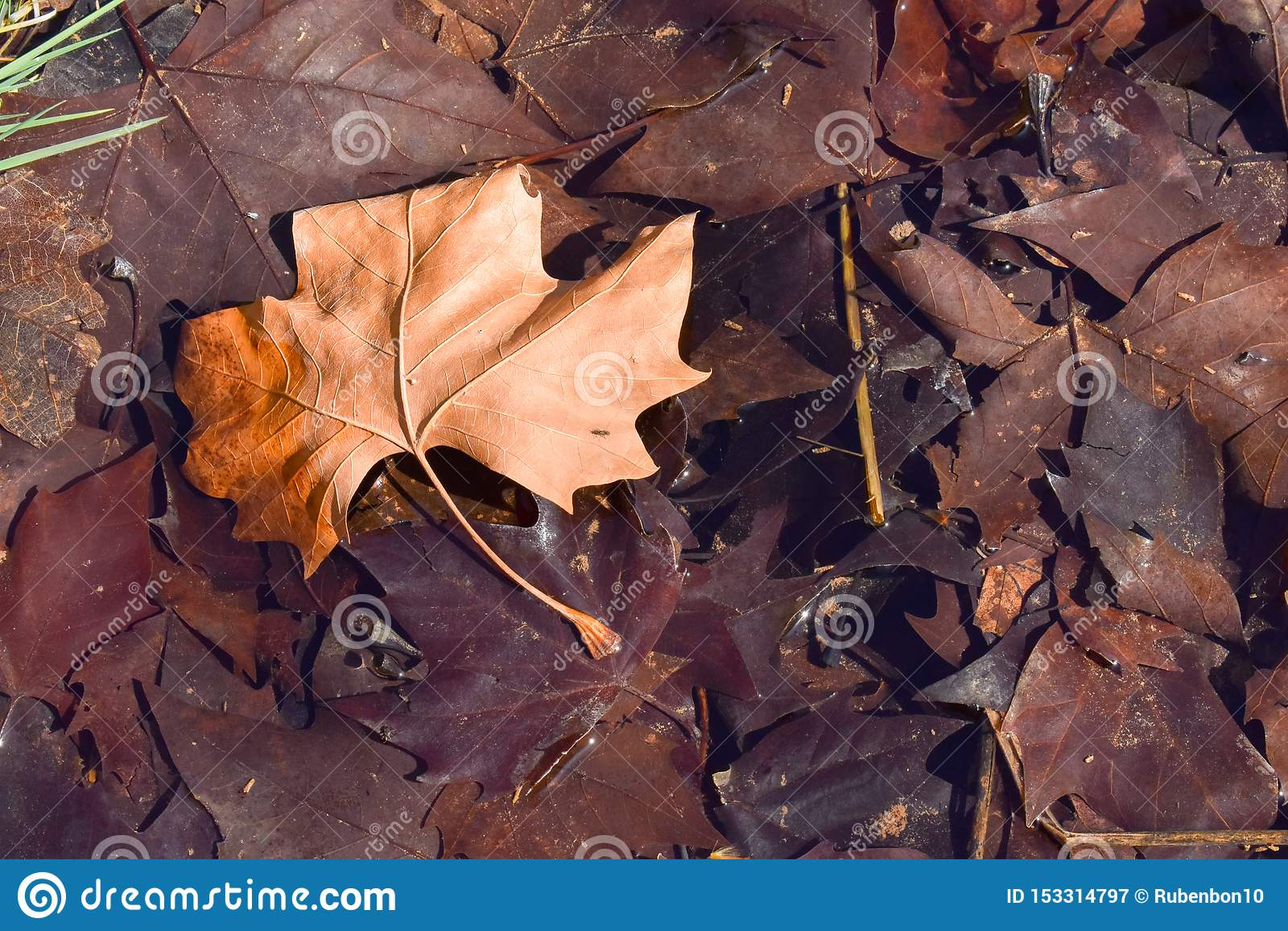 близкий вверх сухих лист коричневого цвета клена на том основании в сцене дня падения Лист на других темных коричневых листьях по