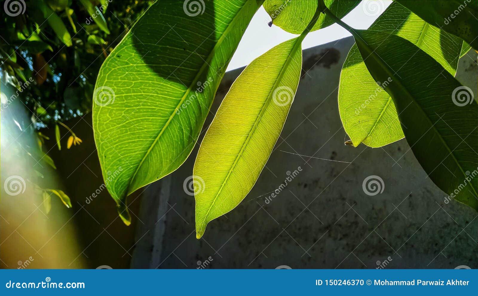 Близкий вверх vains в зеленых лист светя в свете