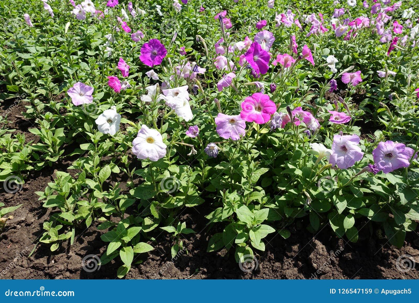 Близкий взгляд пестротканых цветков петуньи