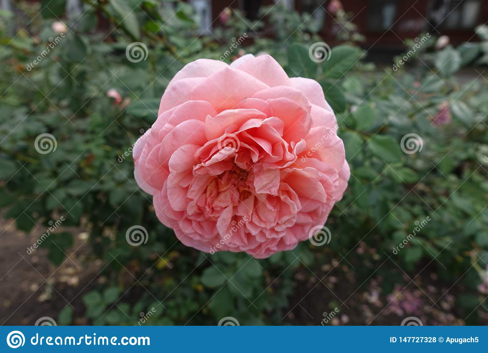 Близкий взгляд розового цветка розы