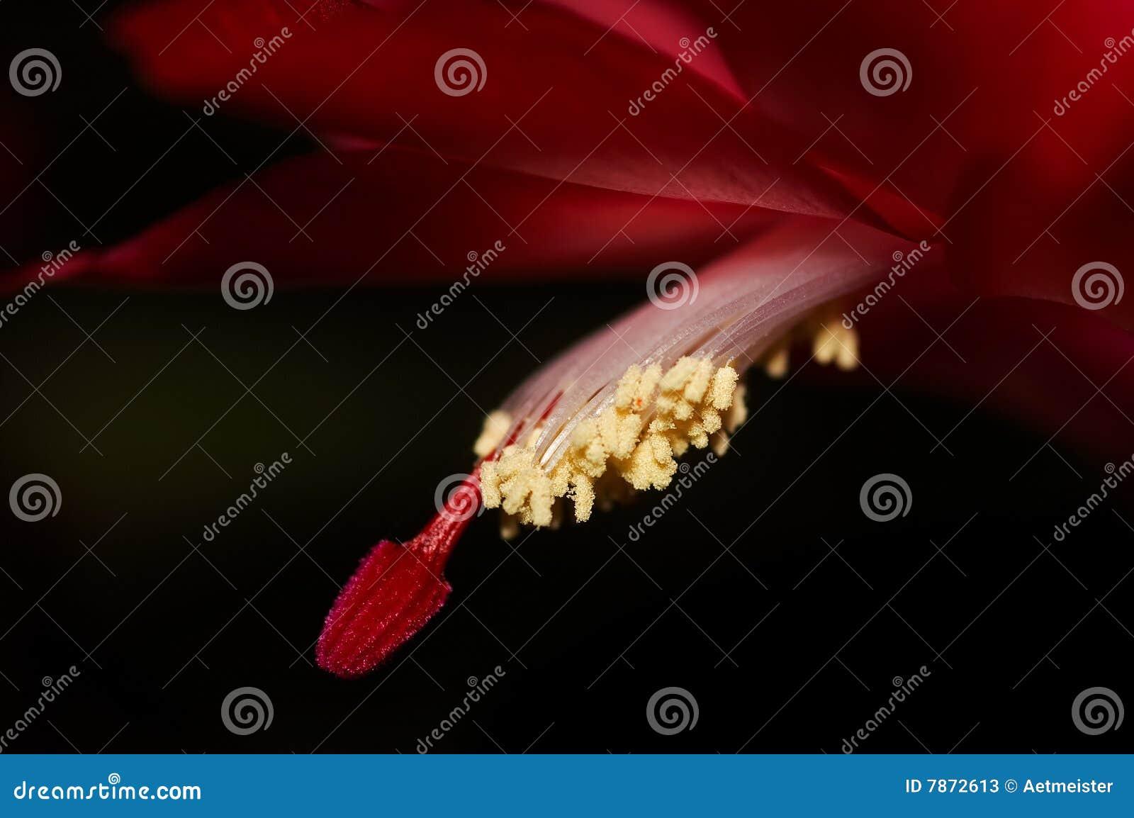близкий красный цвет цветка вверх