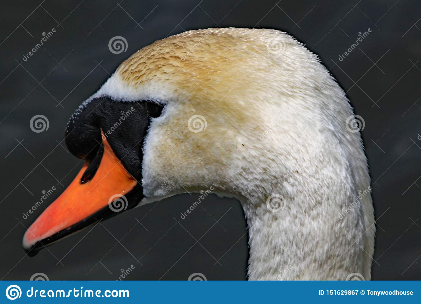 Близкий поднимающий вверх профиль головы безмолвного лебедя