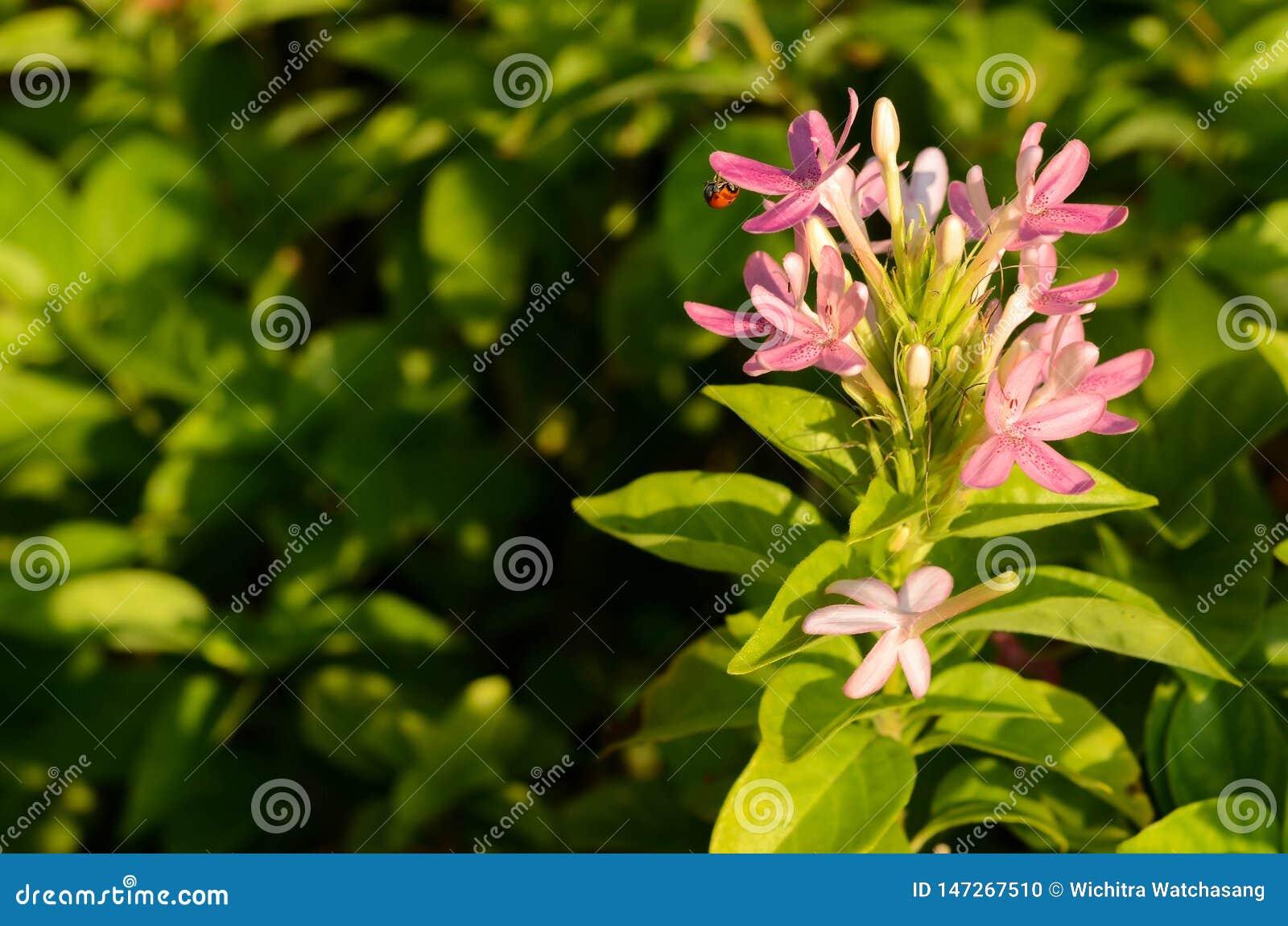 Близкий поднимающий вверх световой луч утра на пурпурном цветке с ladybug на зеленой предпосылке