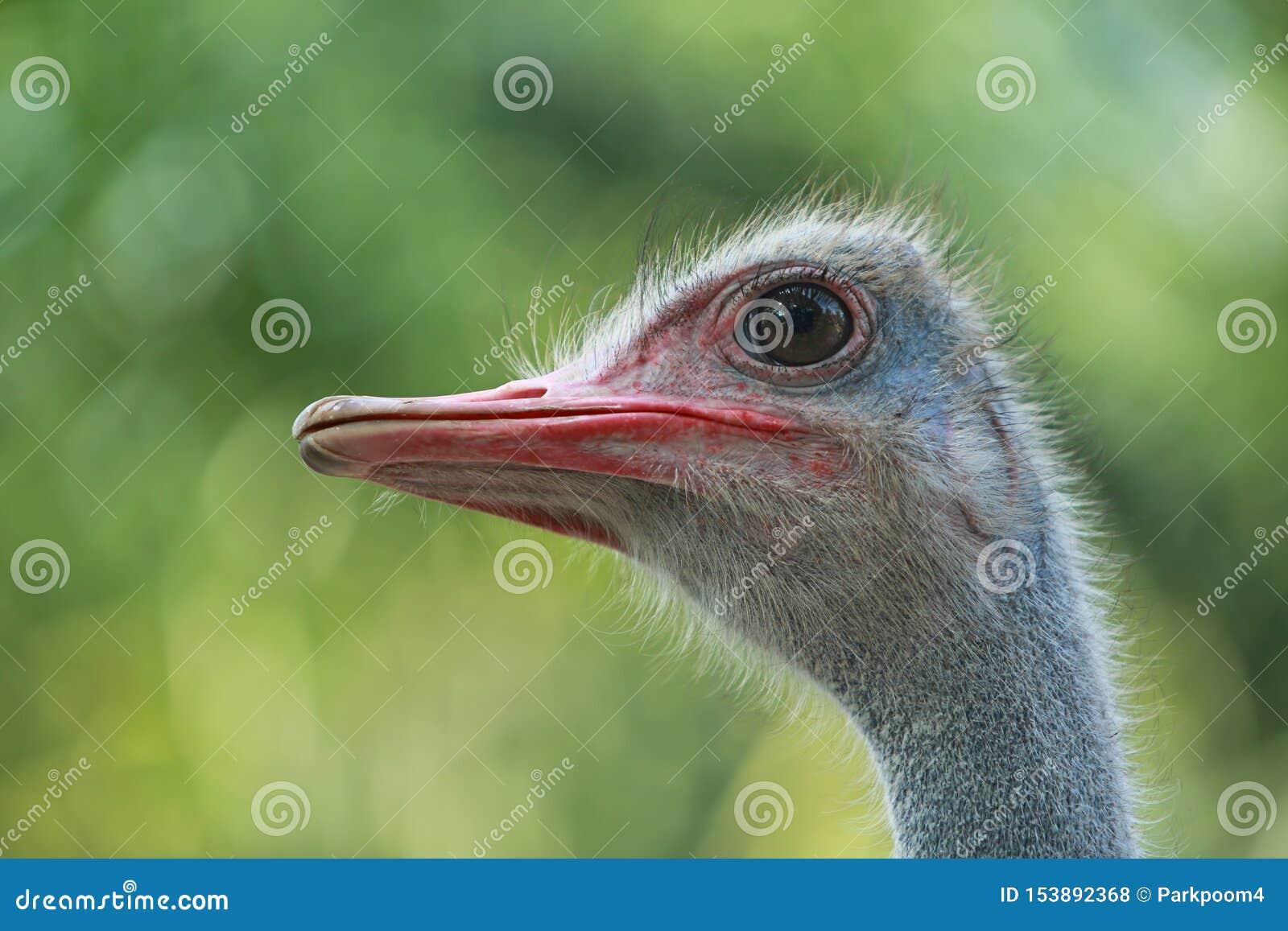 Близкий поднимающий вверх страус в природе