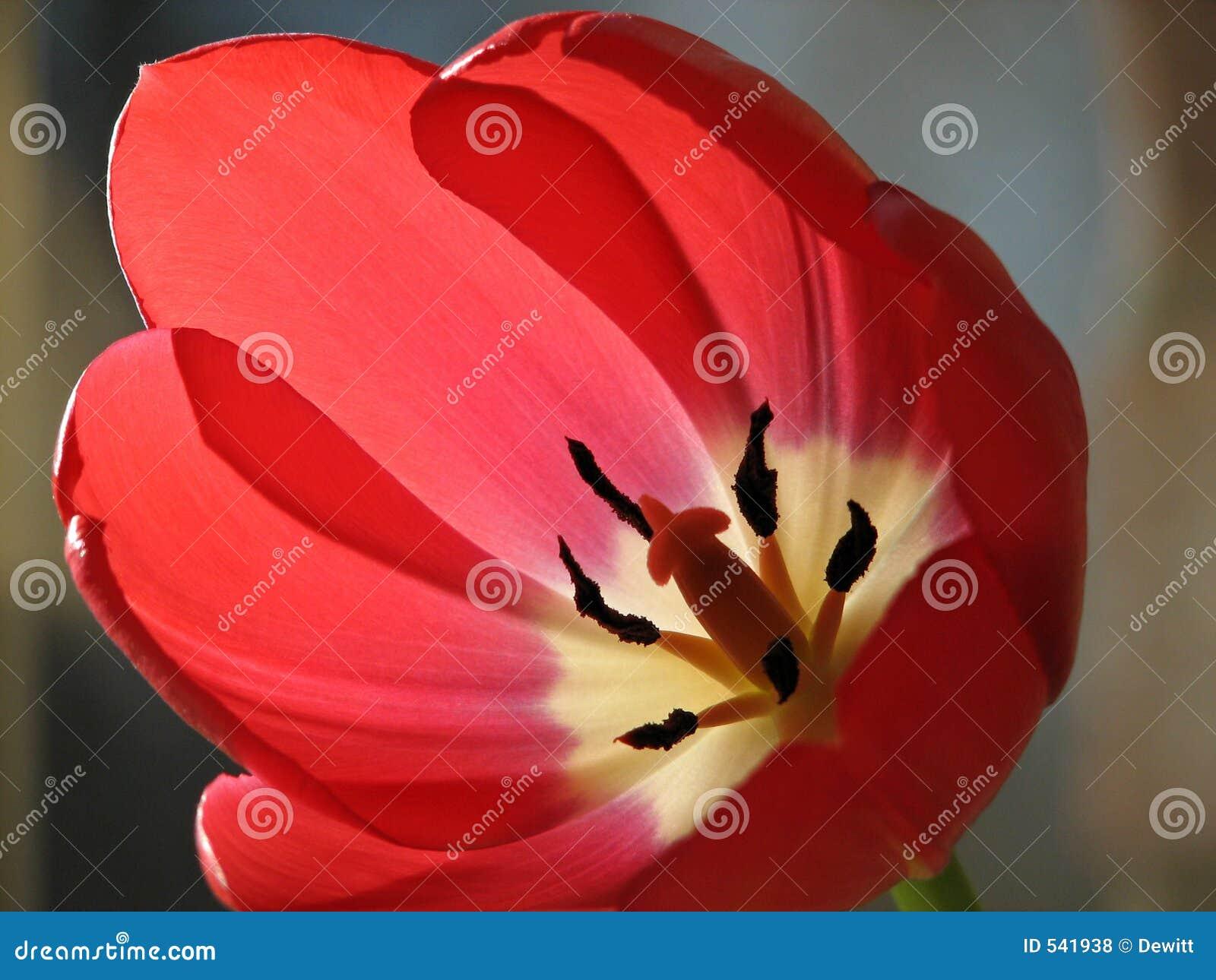 близкий тюльпан вверх
