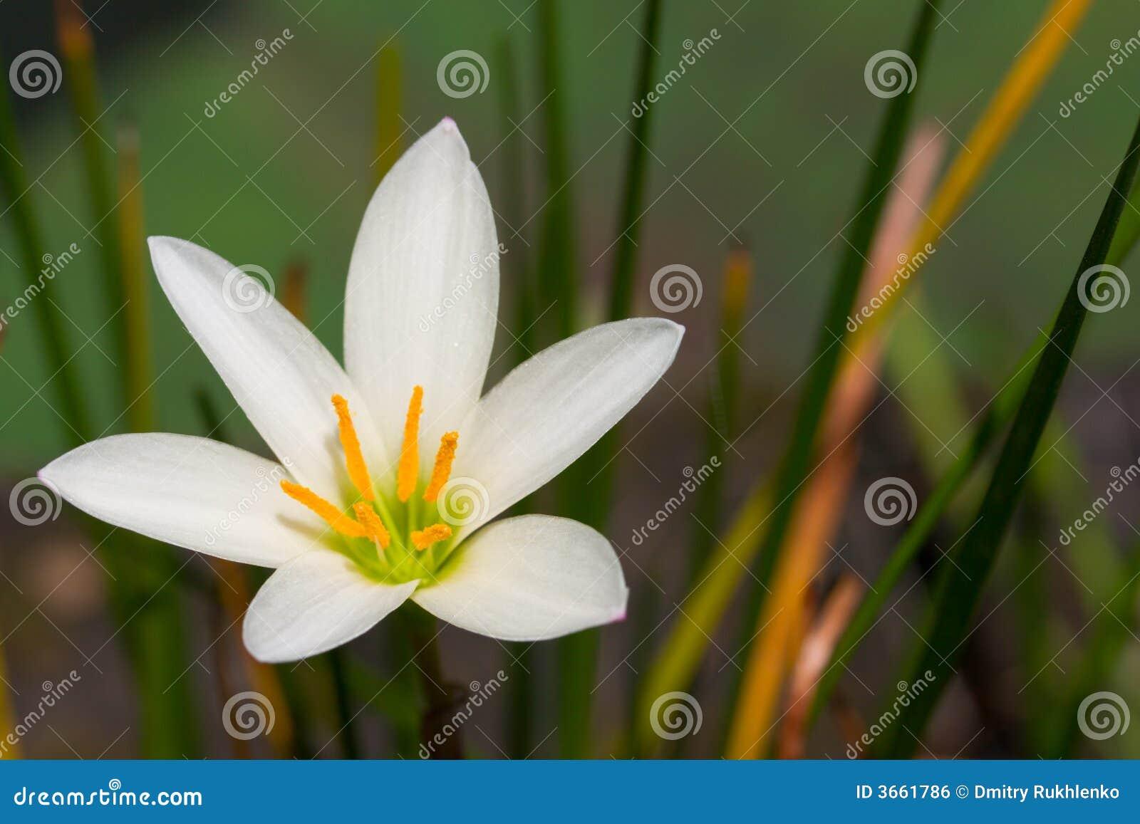 близкий цветок вверх по белизне