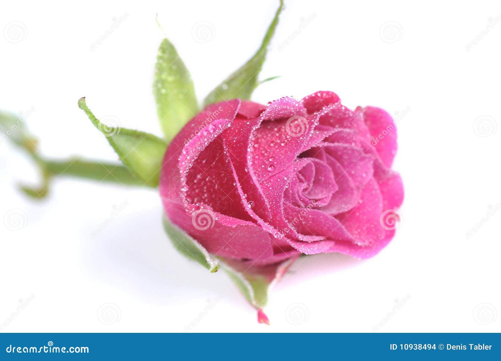 близкое розовое розовое поднимающее вверх