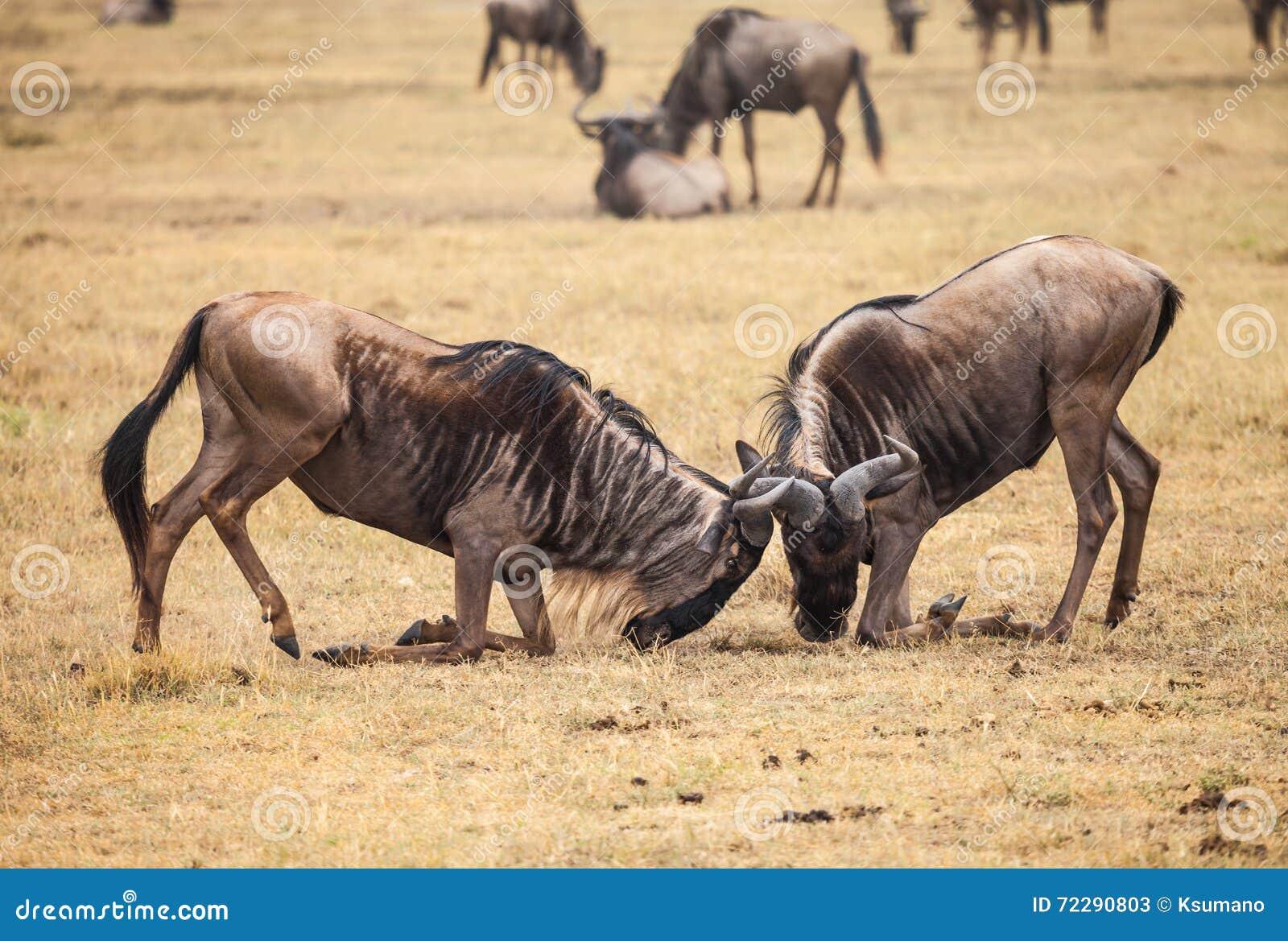 Download Бой антилопы гну стоковое изображение. изображение насчитывающей развилки - 72290803
