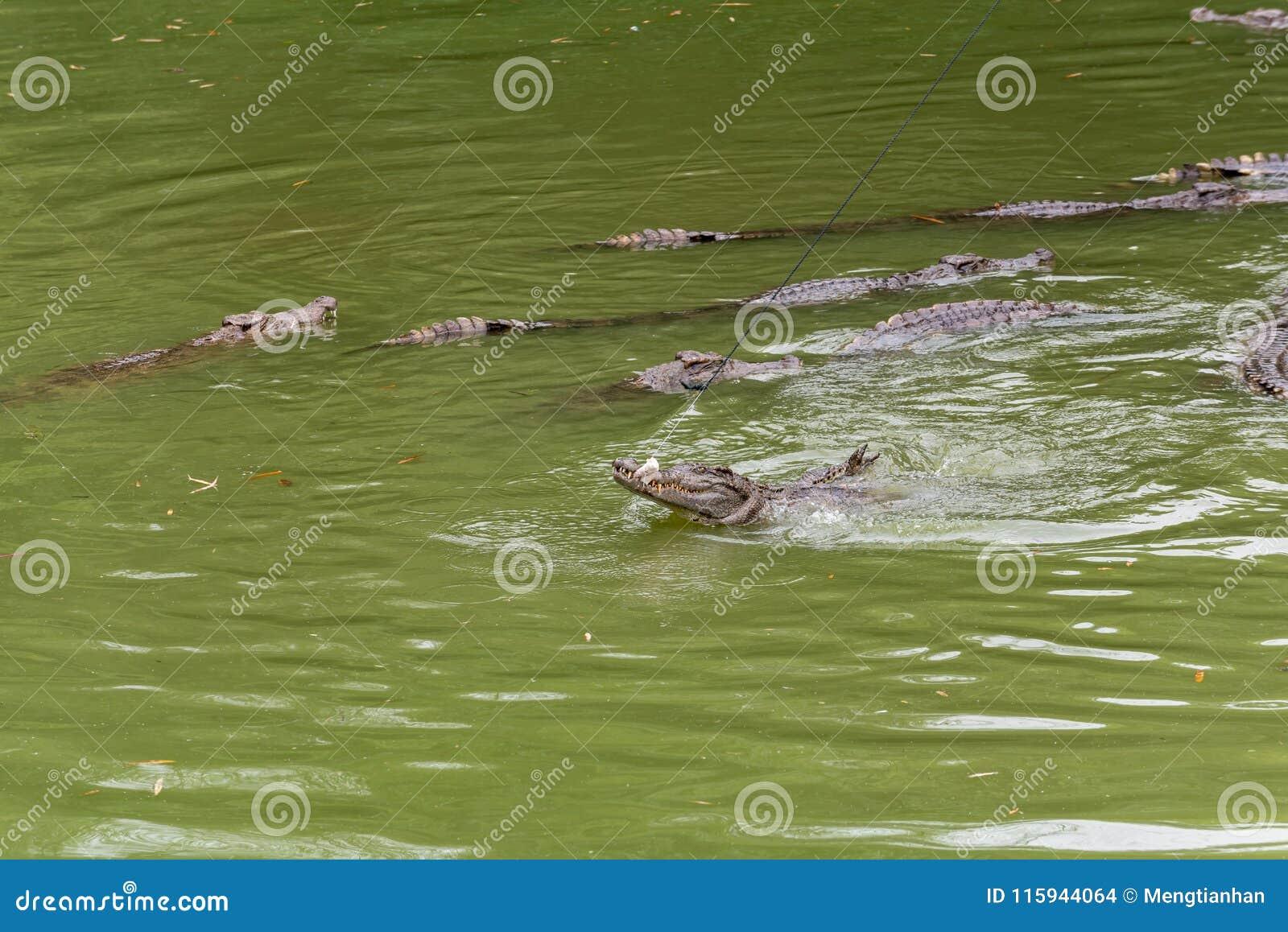 Бой для siamensis ед-крокодил-крокодила