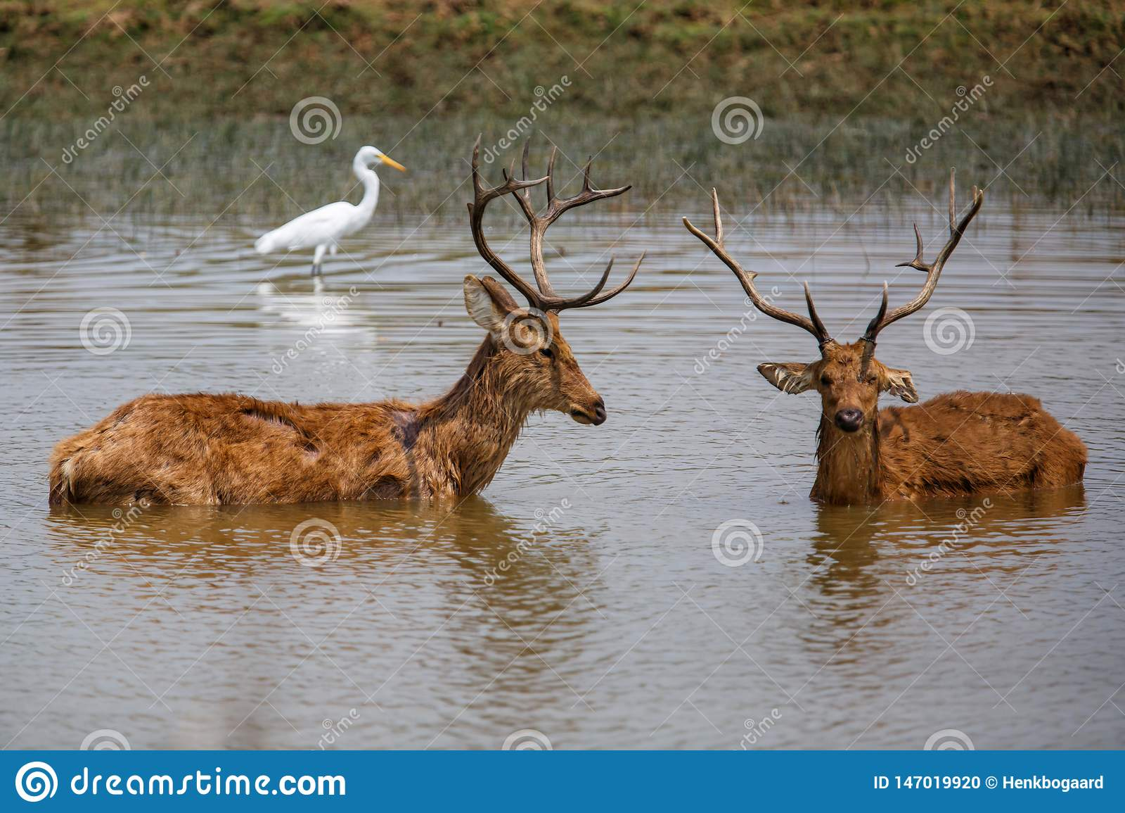 Бой самцов оленя оленей Barasingha