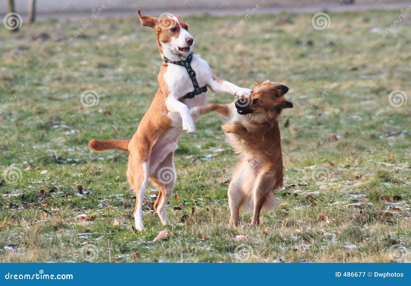 бой собаки