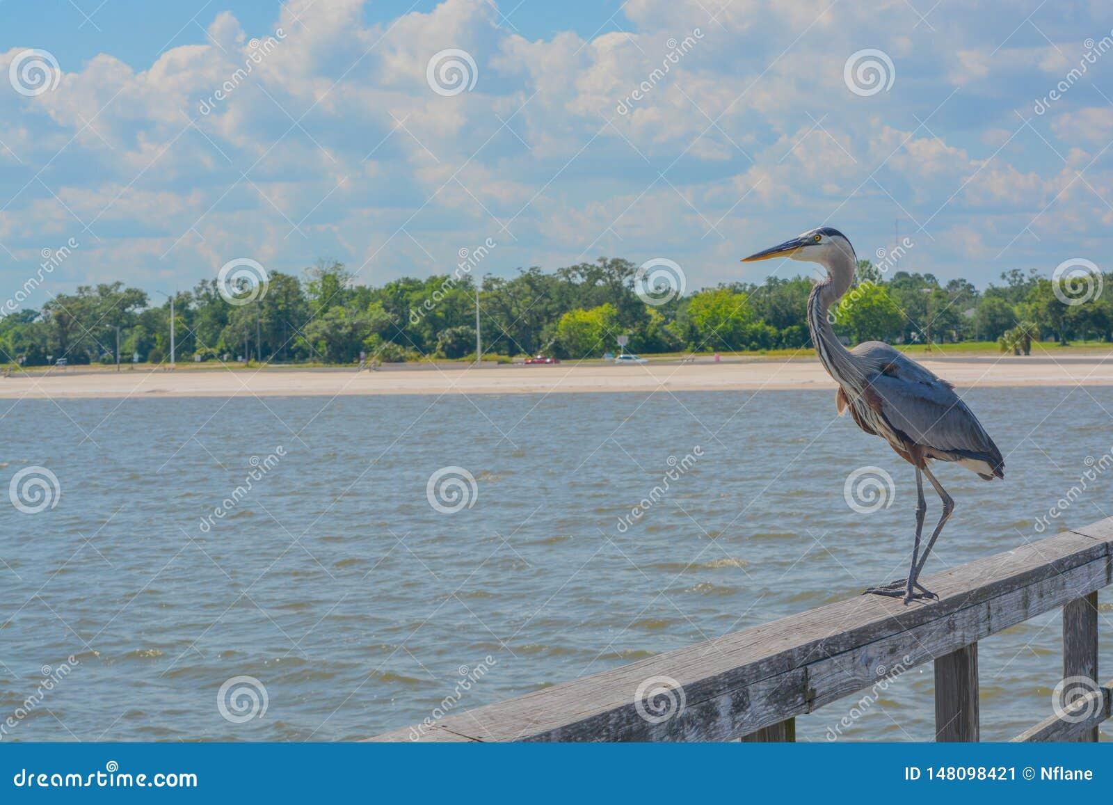Большая голубая цапля на старшем Джим Симпсон удя пристань, Harrison County, Gulfport, Миссиссипи, Мексиканский залив США