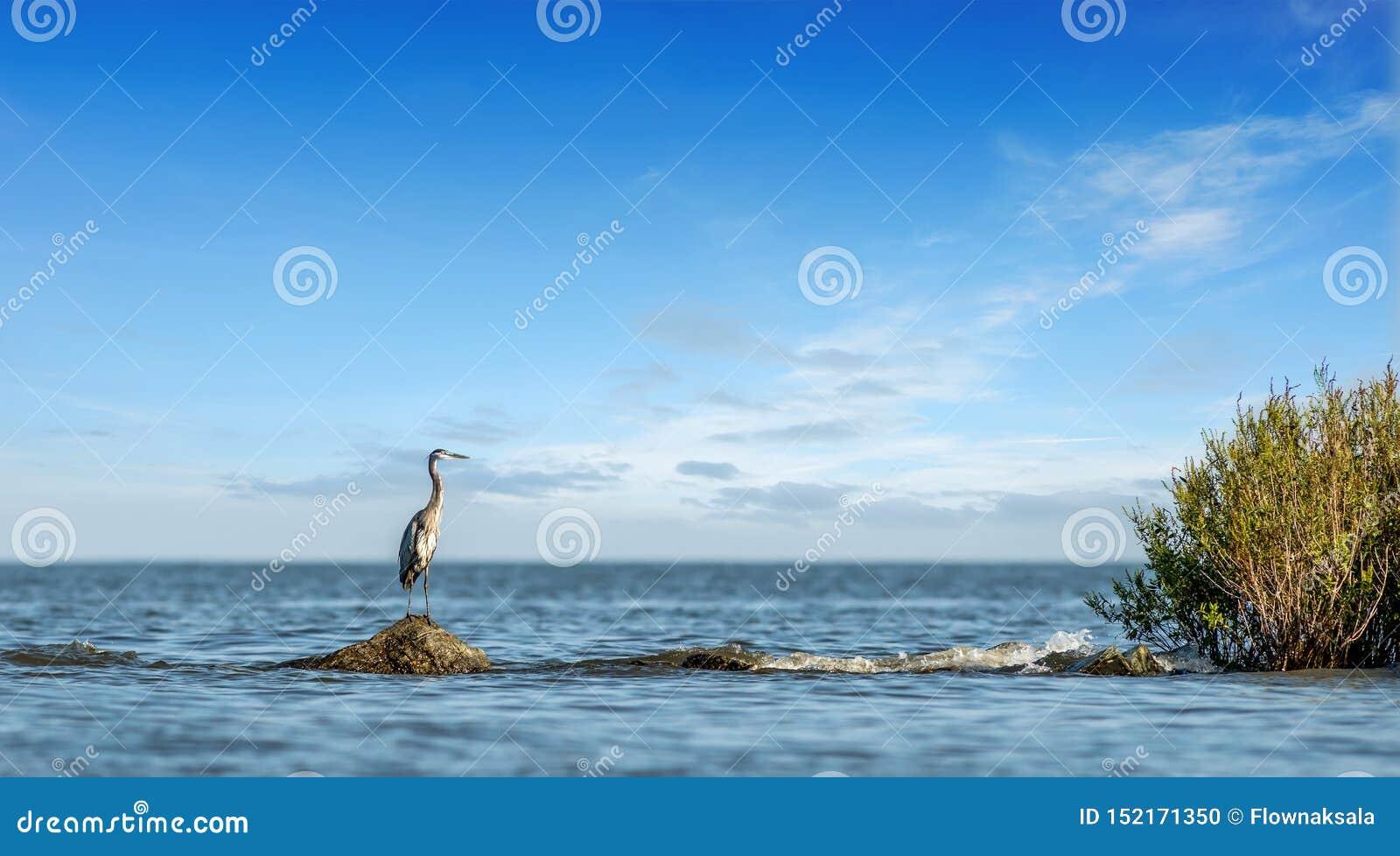 Большая голубая цапля стоя на моле утеса рассматривая вне чесапикский залив