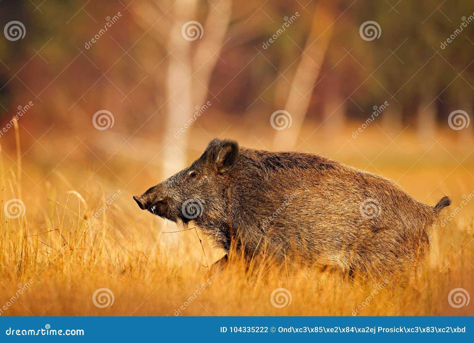 Большая одичалая свинья в луге травы, животном ходе, Словакии Осень в диком кабане леса, scrofa Sus, бежать в луге травы,